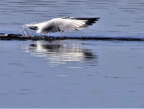 Caspian tern 10