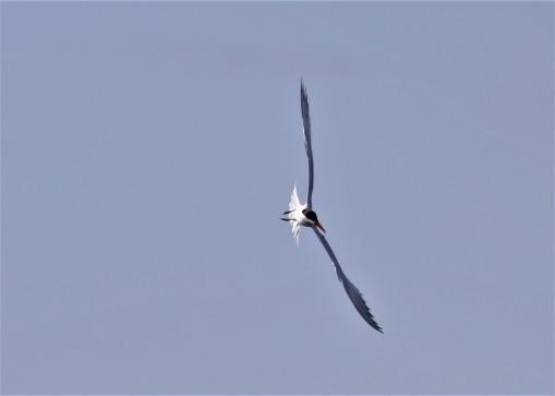 Caspian tern 5