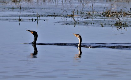 cormorants watching