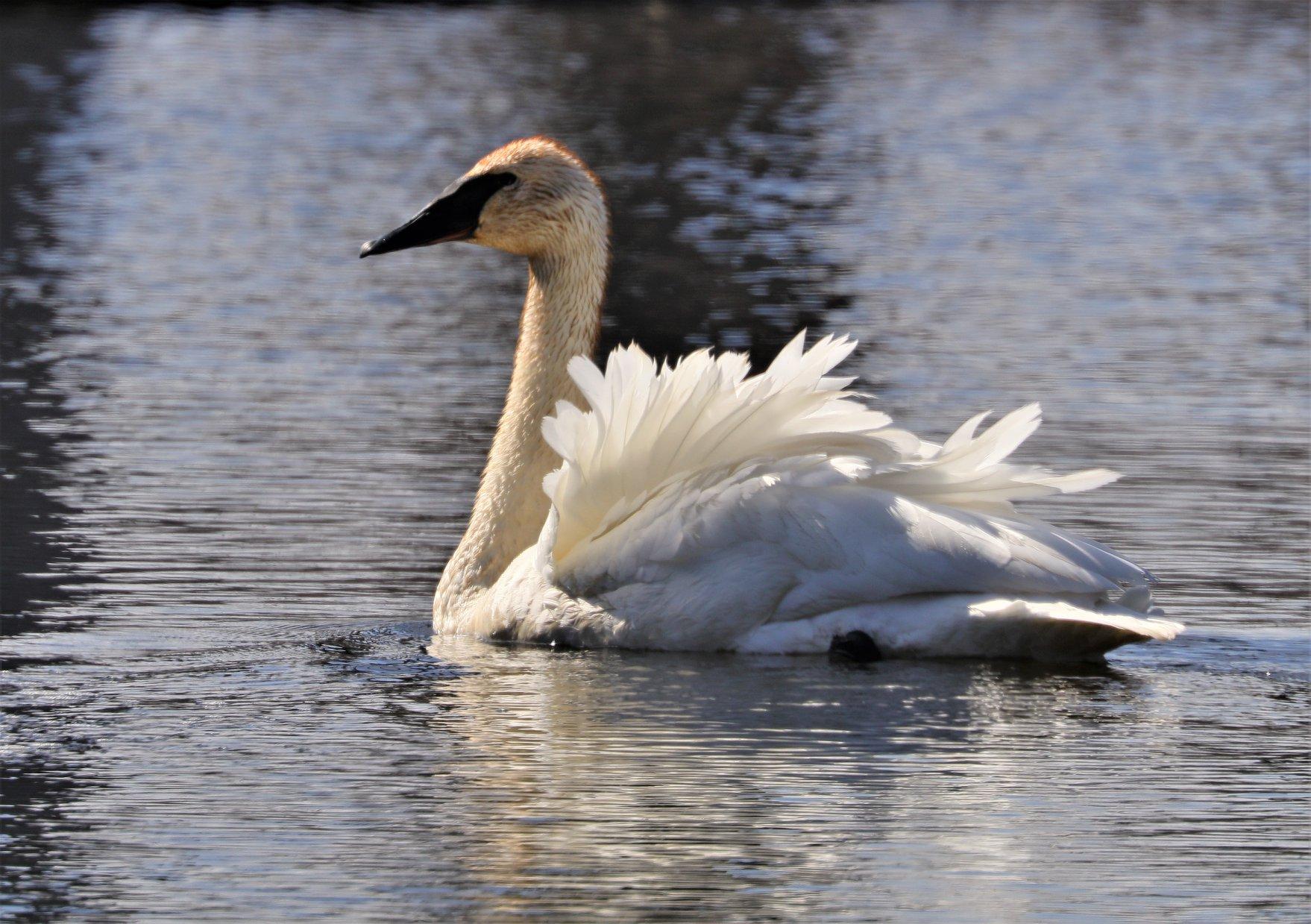 Swan in backlight apr 202020